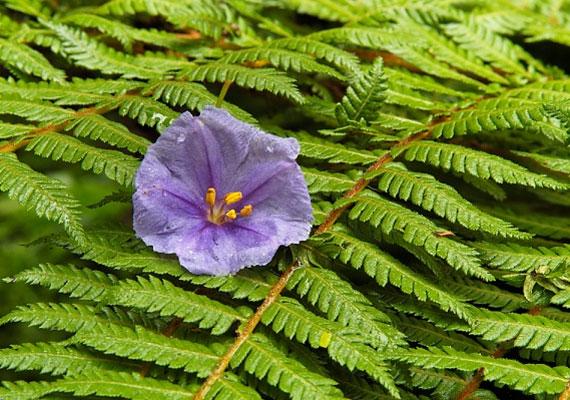 Szent Iván előestéjén érdemes az erdőt járnod páfrány után kutatva. Ha meglátod a virágát, elásott kincset találhatsz, és megérted az állatok nyelvét.