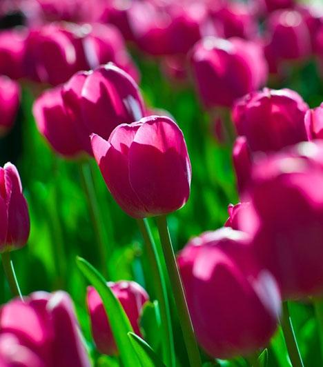 TulipánA rózsák mellett a tulipánok is a tiszta szerelem virágai. Tarts otthon belőlük, vagy viselj tulipán alakú medált, esetleg fülbevalót.