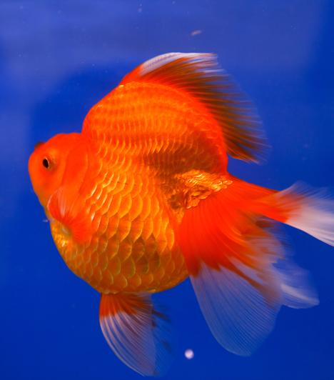 AranyhalAz aranyhal nem csupán szép állat, de a bőséget is bevonzza. Csak akkor vegyél magadnak, ha valóban szeretnél, és a vele járó felelősséget sem bánod.