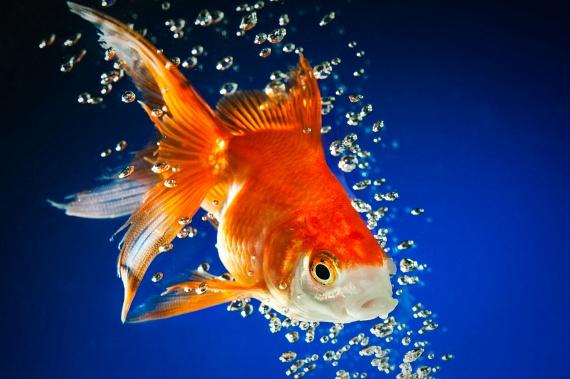 A hal az ezotériában alapvetően szerencsehozó állatként ismeretes, mely arra tanítja az embert, hogy hogyan élhet harmóniában önmagával, és hogyan létesíthet jól kapcsolatot másokkal, ezáltal kedvező energiacseréket lefolytatva. A hal a víz őselem képviselője, a víz pedig az alakváltozás képességének hordozója, tehát a hal alkalmazkodni tanít. Különösen párkapcsolati vonatkozásban hat jótékonyan a hal energiája, mely által a szerelem és a kiegyensúlyozott szexuális élet adta pozitív egészségügyi vonzatok mindegyike kihathat az emberre.