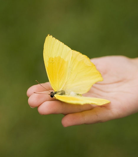 Kecske  Ha a Kecske jegyében születtél, ékesítsd egy pár pillangó dísszel a szerelem sarkot. Vehetsz pillangódekorációt, vagy pillangómintás textíliát.