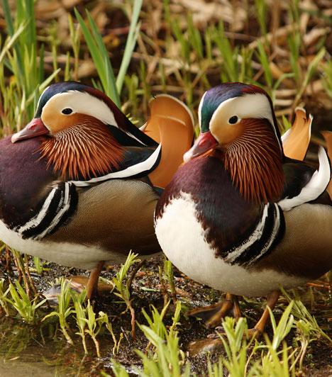 KakasHa a Kakas jegyében születtél, akkor egy madárpárt ábrázoló képet vagy szobrot tegyél a szerelemsarkodba. A kínaiak mandarin kacsapárral díszítenek, de hattyú vagy galamb is megfelel a célnak.