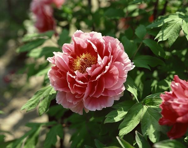 A bazsarózsa minden színben nagyon bájos, ezért a változatosságot kedvelő Ikrek jegyűek számára is a legkedvesebb virág. Főleg a rózsaszín, illetve babarózsaszín bazsarózsák az Ikrek virágai.