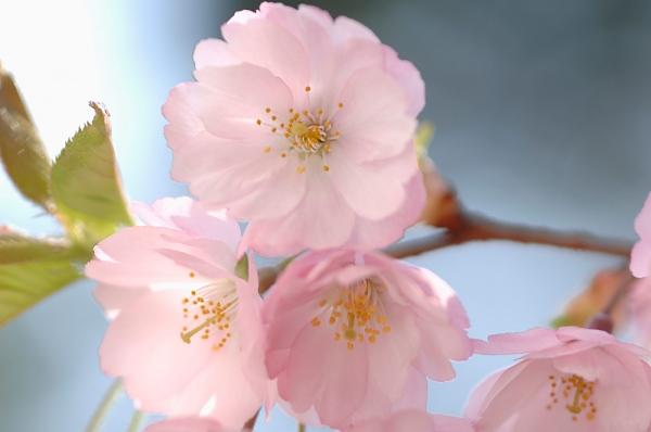 Az érzéki, titokzatos és szenvedélyes Skorpiók odavannak a gyümölcsfák virágzatáért. Ha Skorpió vagy, a cseresznyevirág a te virágod, de szereted nézegetni például a barackfa virágát is.