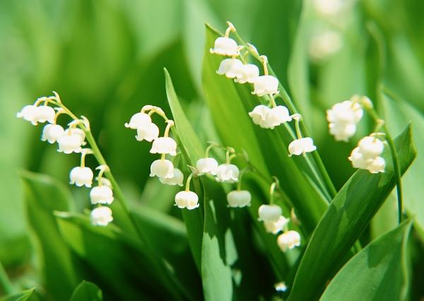 A barátságos Mérleg jegyűek virága mi más is lehetne, mint a bájos és kedves gyöngyvirág. Anyák napja táján ez a virág is nagyon népszerű, nem ok nélkül, hiszen gyönyörű.