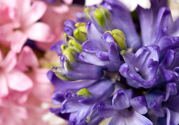Ha izgalmas flörtökre éhes Bak vagy, a te virágod a jácint. Ezt a virágot apró, körkörösen nyíló virágai teszik érzékivé és bujává.