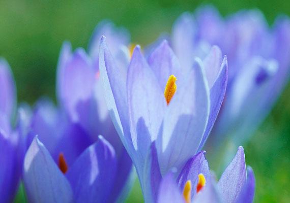 Ha a Halak jegyében születtél, rendkívül gazdag a fantáziád, és a te virágod az aprócska, de nagyon karakteres krókusz, abból is a kék színű.