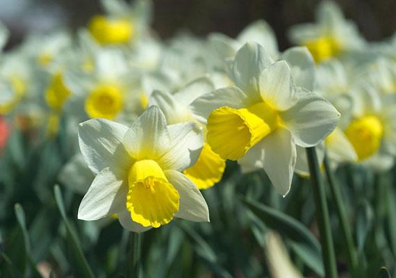 A Vízöntő emberbarát, jószívű személyiségéhez leginkább a kedvességet sugárzó sárga nárcisz passzol. Igazi tavaszi virág, csodaszép dísze lehet kertnek és szobának egyaránt.