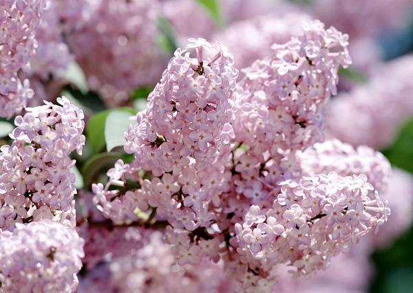 A nyugodt lelkületű Bikák odavannak a lila és rózsaszín orgona illatáért. Ha ez a csillagjegyed, tegyél egy vázába néhány szálat, és élvezd az illatot!