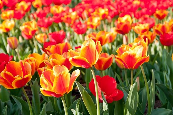 A temperamentumos, dinamikus Kos csillagjegy szülöttjei számára a piros és a narancssárga tulipánok a legszebbek. Ha ebben a jegyben születtél, gyönyörködj sokat ebben a tavaszi virágban!