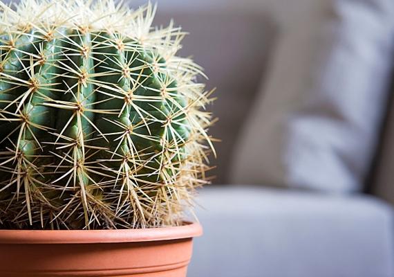 Ha van kaktuszod, akkor száműzd a lakásból, mert viszályt szíthat.