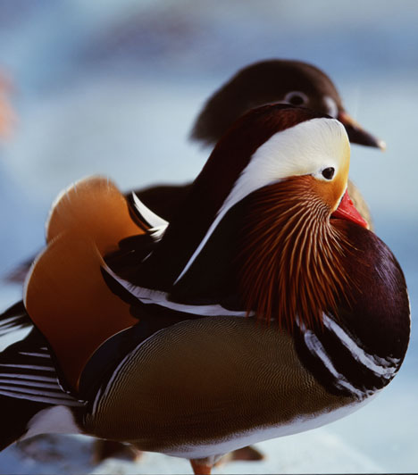 Szimbólumok  A feng shui szerint egyes állatok különleges erővel bírnak. A páros szimbólumok, például a madarak, ezek közül is a mandarinkacsa van kedvező hatással a párkapcsolati energiákra.