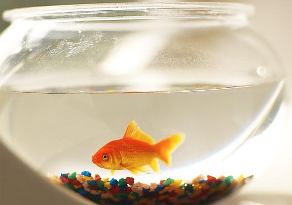 Ahogyan az aranyhal is fellendítheti a pénzügyeidet.