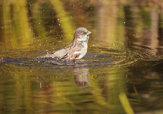 Ha a verebek vízben fürdenek, száraz, meleg idő várható, ha viszont porban, eső lesz.