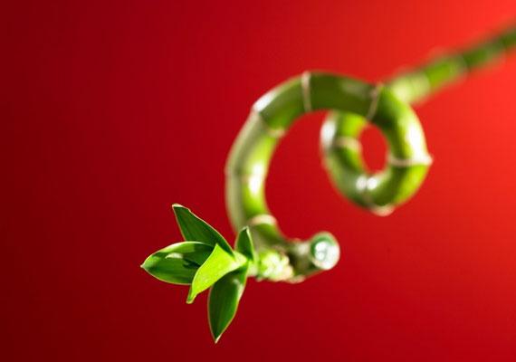 Ha hosszabb távon gondolkodsz, az idénynövények mellett érdemes állandóan itt tartanod egy szerencsebambuszt.