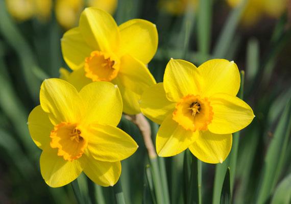 A nárciszok nemcsak szépek, hanem hasznosak is ezen a területen.