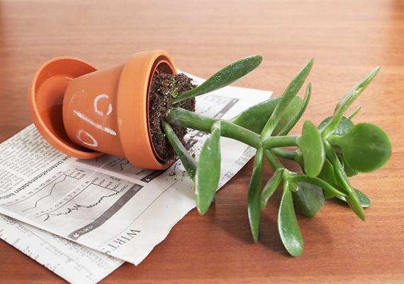 A fém chit különböző kereklevelű pénzhozó növényekkel is erősítheted, mint például a pozsgafa.