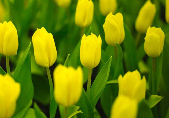 Választhatsz tulipánokat is.