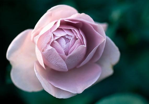 Ha a rózsa a kedvenc virágod, hajlamos vagy a maximalizmusra, és tartózkodsz a felszínes kapcsolatoktól. A minőség nálad minden téren fontosabb, mint a mennyiség.