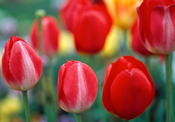 A tulipán kedvelőjeként másokat inspirálhatsz, és ihletet merítenek belőled, de te magad ritkán élsz a lehetőséggel, hogy kibontakoztasd a kreativitásodat.