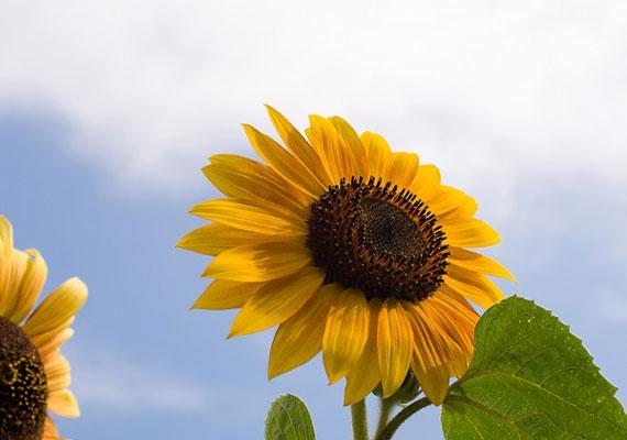 Ha Napraforgó vagy (július 23-augusztus 22.), nyitottságod és melegséget sugárzó lényed a legnagyobb vonzerőd.