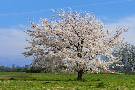 Cseresznyefa                         A cseresznyefa azért különleges, mert páros öleléssel működik az impulzusa. Párkapcsolati problémák esetén vagy szexuális gátlásoknál a partnereddel együtt fogjátok közre a fát, és úgy próbáljátok átélni a hatást.