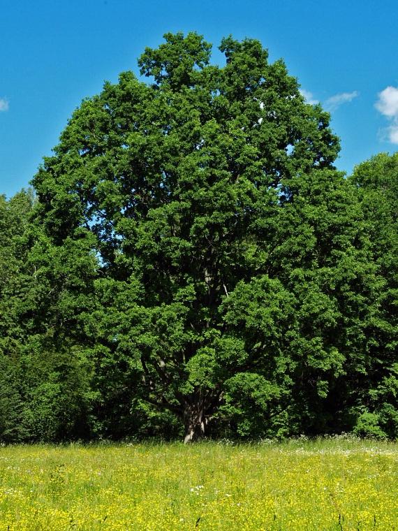 Tölgyfa                         A tölgyfa mágikus erejét már a kelták is felfedezték. Az egyik legerősebb energiát közvetítő fa, így ha nem bízol magadban, vagy nagy feladat elé állít a sors, a tölgyet keresd meg.