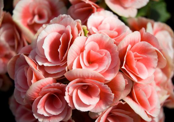 A virágzó növényeket is gazdagsághozónak tartják, különösen a begóniát. Nagy víz- és fényigényű növény.