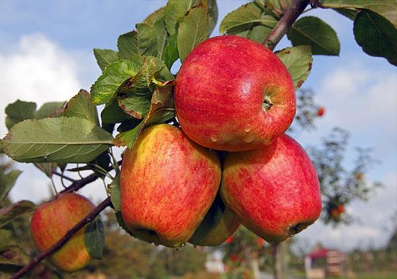 Ha álmodban dúsan termő gyümölcsfát látsz, esetleg szüretelsz is róla, az azt jósolja, hogy pénzhez jutsz.