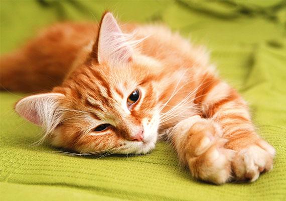 A vörös macska jólétet, anyagi gondoktól való mentességet, pénzbőséget vetít előre az álomban.