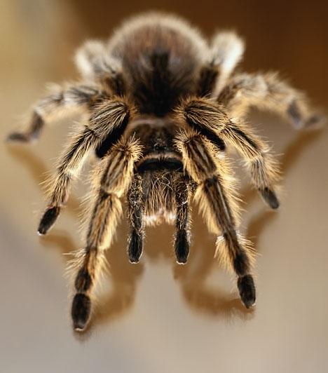 PókA legtöbben ébren sem szeretnek pókkal találkozni, ha pedig vele álmodnak, akkor azt abszolút negatív jelként értelmezik. Nagy hiba, ugyanis a pók az álomban pozitív dolgot jelent. Ha pókkal álmodsz, azt jelzi, hogy szerencséd lesz a szerelemben. Ugye, hogy így máris szívesebben álmodnál egy nyolclábúval?