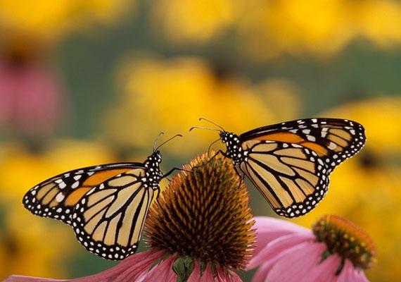 Viselj pillangókat ábrázoló ékszereket párban, vagy tedd a szimbólumaikat az otthonodba.