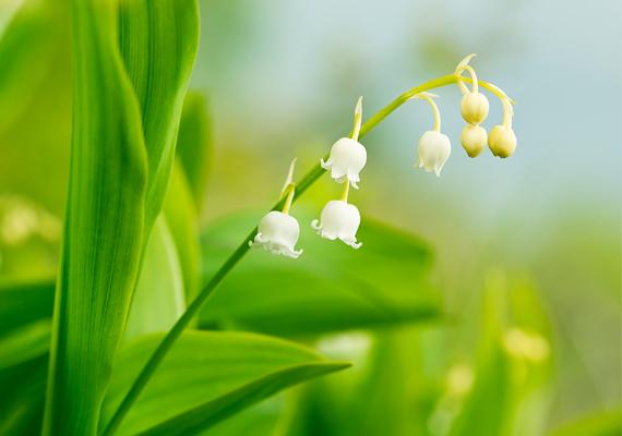 Bájos és romantikus a fehér, illatos gyöngyvirág, mellyel álmodni nemcsak élvezet, de jót is ígér: ha gyöngyvirággal álmodsz, az új szerelmet jövendöl.
