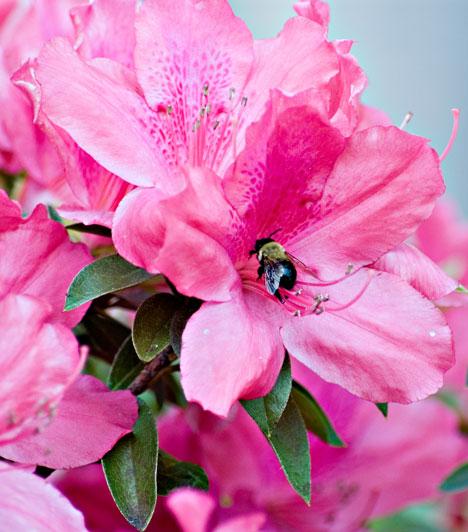 IppakuHa a Fehér víz jegyében születtél, az azálea a te szerelemhozód. Ez a növény erősíti a nőiességed és türelmed, de teret nyit a szenvedélynek is, és segíti az érzelmi blokkok oldását.