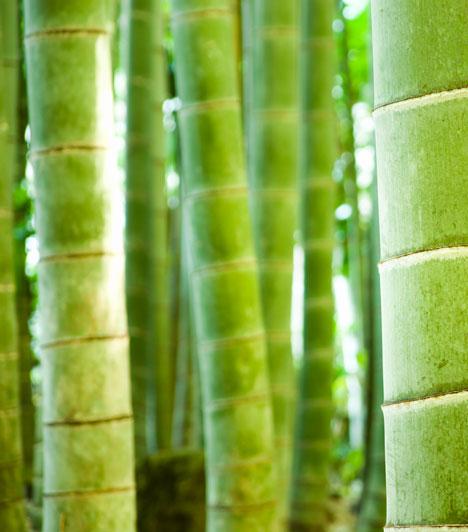 ShichisekiHa a Vörös fém jegyében születtél, érdemes beszerezned egy bambuszt. Ez az egyensúly, a rugalmasság és a fiatalság szimbóluma, segít, hogy életedben a női és férfi energiák egyensúlyba kerüljenek, és megtaláld a párod.
