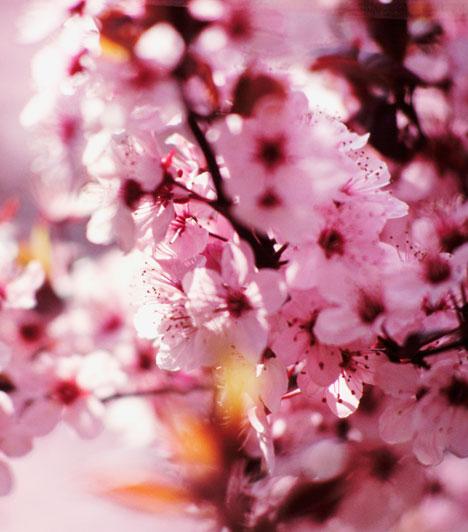 Goo  Ha a Sárga föld jegyében születtél, gyönyörködj a cseresznyevirágban. Ez a nőiség és a szerelem szimbóluma, és segít a múlt sebeinek begyógyításában, a merev elképzelések elengedésében. Szimbolikus jelentése felhívja a figyelmed az élet körforgására és arra, hogy semmihez se ragaszkodj túlságosan.