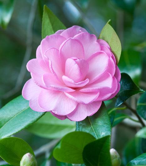 KyushiHa a Vörös tűz jegyében születtél, kaméliát válassz. Ez a virág a vágy és szenvedély virága, abban segít, hogy megtaláljon és hosszan tartson a szerelem.