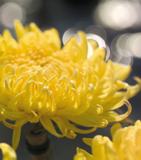 Roppaku  Ha a Fehér fém jegyében születtél, a krizantém a te virágod. Ez a szerencsehozó növény abban segít, hogy felismerd és integráld saját személyiséged energiáit, ami segít, hogy harmonikus párkapcsolatot létesíts.  Kapcsolódó cikk: Mikor leszel a legboldogabb életedben? »