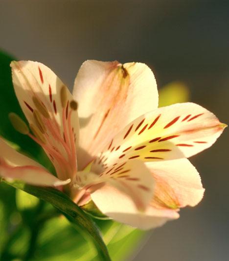 Jikoku                         Ha a Fekete föld a jegyed, a liliom a megfelelő virág a számodra. Segít a spirituális fejlődésben és a szeretet áramlásában. A termékenység és a táplálás növénye, az anyaságé, az új kapcsolatok és a házasság támogatója.                         Kapcsolódó cikk:                         Ezt tedd, hogy rád találjon a szerelem »