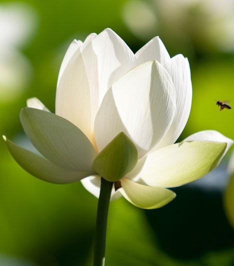 Sanpeki  Türkiz faként a lótusz segít abban, hogy megtaláld a szerelmet. Ez a tisztaság, a tökéletesség és a szépség virága. Erősíti a tisztánlátást, és segít, hogy felismerd mások és saját magad valódi természetét, leküzdd az önértékelési zavarokat és meglásd magadban a szépséget.