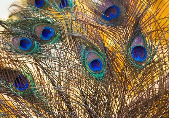 A páva a hűség madara, viselj pávatollat, vagy tegyél a hálószobádba pávát ábrázoló képet.