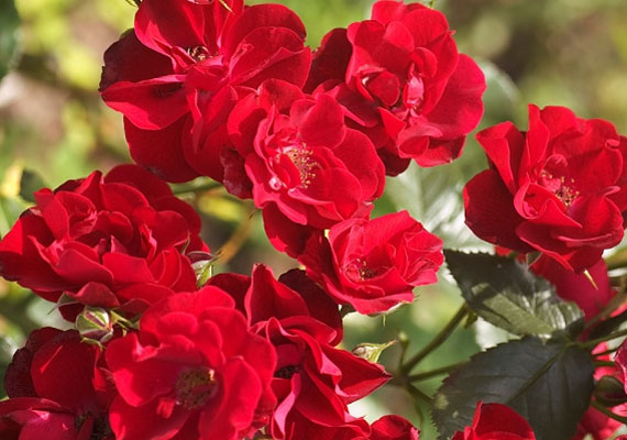 Ha vörös rózsacsokrot kapsz a párodtól, az megerősíti a hűséget.