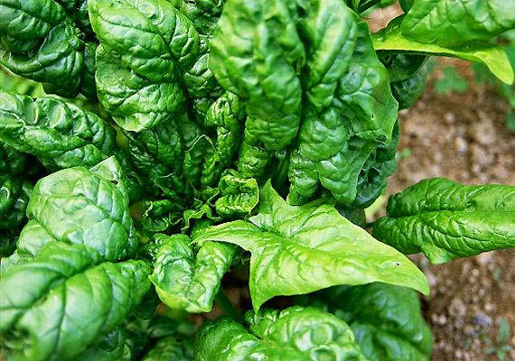 A spenótot magas rosttartalma és alacsony kalóriatartalma az egyik legjobb zsírégető zöldséggé teszi. Emellett biztos forrása az antioxidáns béta-karotinoknak, a folsavnak, a K-, illetve C-vitaminnak.