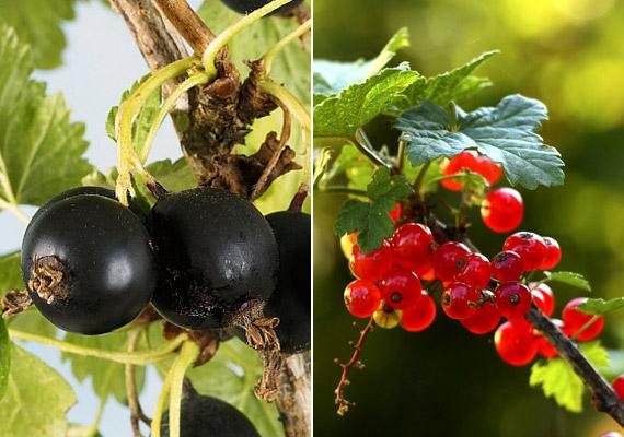 A piros ribizli 100 grammja 4,7 gramm rostot tartalmaz, de fekete testvére sem marad el mögötte jelentősen. Utóbbi a bogyós gyümölcsök között a legbiztosabb C-vitamin-forrás: 100 gramm gyümölcs 160 milligrammot tartalmaz az immunerősítő, fogyást is segítő vitaminból. Tudd meg, még hogyan támogatja diéta sikerét a piros és a feketeribizli.