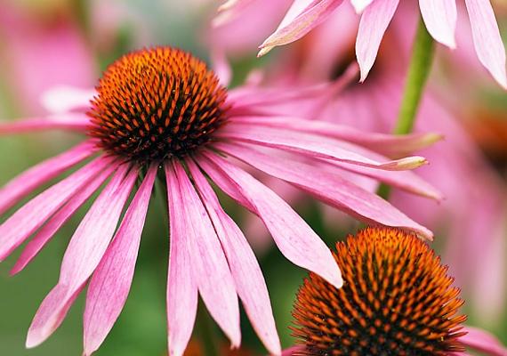 A bíbor kasvirág - Echinacea purpurea - jelentős mennyiségben tartalmaz fruktooligoszacharidokat. Az étrendi rostoknak ez a speciális típusa tisztítja a vért és a májat, és növeli a hasznos Lactobacillusok számát a vastagbélben. Fogyaszthatod tea vagy tinktúra formájában.