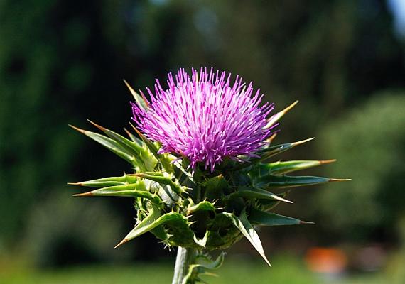 A máriatövis - Silybum marianum - termésének legfontosabb hatóanyaga a szilimarin, amely enyhíti az emésztési, illetve epehólyagpanaszokat, valamint májvédő hatású. Így fogyaszd a máriatövist!