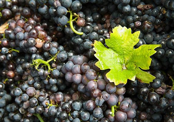 A szőlő nagyon erős méregtelenítő, vértisztító hatással is rendelkezik.