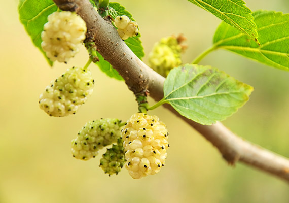Míg a földi eper fogyasztása jól jöhet a diétádhoz, addig az eperfa gyümölcse 210 kalóriát tartalmaz.