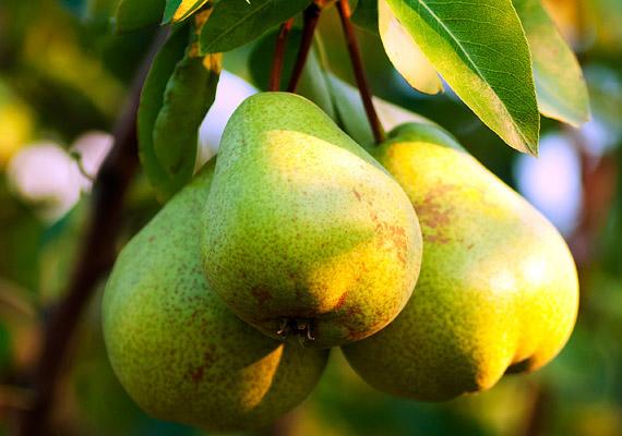 A körte az egyik legmagasabb rosttartalmú - 100 grammonként 6-7 gramm - gyümölcs, ennek köszönhetően kellő folyadék fogyasztása mellett szinte átmossa a bélrendszert, megszabadít a letapadt salakanyagoktól, serkenti az anyagcserét. Káliumtartalma révén vízhajtó hatással is bír. Kattints ötnapos körtediétánkra!