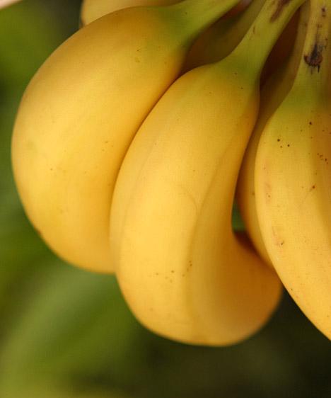 Banán  Naponta egy banán a reggeli vagy délutáni órákban még nem jelent veszélyt, de tartsd szem előtt, hogy a sárga déligyümölcsnek rendkívül magas a szénhidráttartalma, ezért azon kevés gyümölcsök közé tartozik, melyek akár a fogyókúrádat is veszélyeztethetik.  Kapcsolódó cikk: 3 egészségügyi érv a banánfogyasztás mellett »